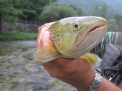 Immissioni ittiche settimanali in rogge e canali